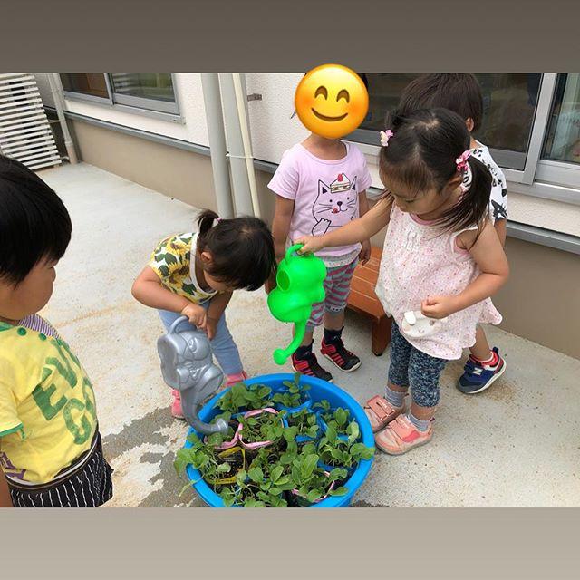 みんなで育てたチンゲン菜☆収穫して、茹でて食べたよ︎美味しかったね♪#神戸市#垂水区#舞多聞#もりの保育園#舞多聞100年の杜 #サンウッド株式会社