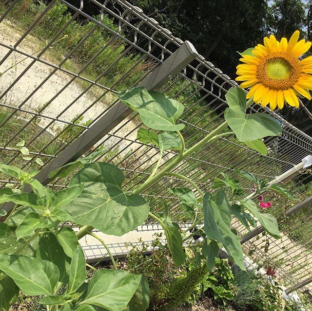もりの保育園に大きなひまわりが咲きました♪記念にパシャり!!#神戸市#垂水区#舞多聞#もりの保育園#舞多聞100年の杜 #サンウッド株式会社